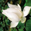 A white lotus flower — Stock Photo