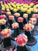 Colorful cactus — Stock Photo