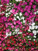 Colorful catharanthus roseus background — Stock Photo