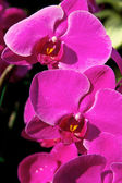 Blossom violet vanda orchid — Stock Photo