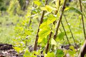 Yardlong bean farm — Stock Photo