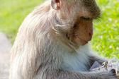 Ritratto di macaco dalla coda lunga — Foto Stock