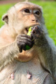 Portrait of Long-tailed macaque — Stock Photo