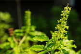 Holy basil flower — Photo