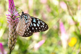 The Common Glassy Tiger Butterfly on Flowers — Stock Photo