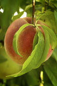 Peach on Bough — Stock Photo