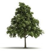 Tek meşe ağacı — Stok fotoğraf