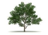Single Magnolia Tree — Stock Photo