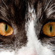 Stock Photo: Cat brown eyes