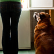 Stock Photo: Dog staring at fridge