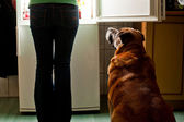 Dog staring at fridge — Stock Photo