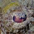 Stock Photo: Crocodile Fish Eye