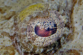 Crocodile Fish Eye — Stock Photo