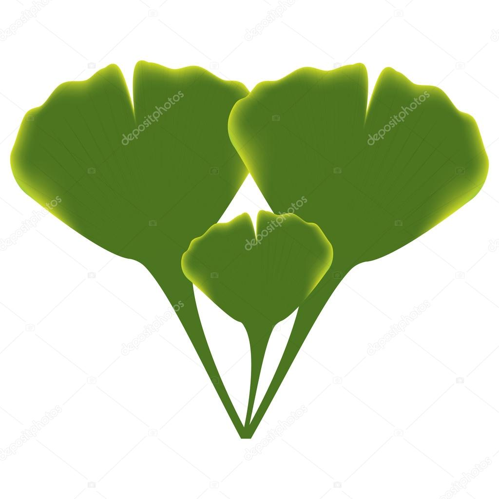 Leaves of ginkgo biloba. vector. — Stock Vector #13213901