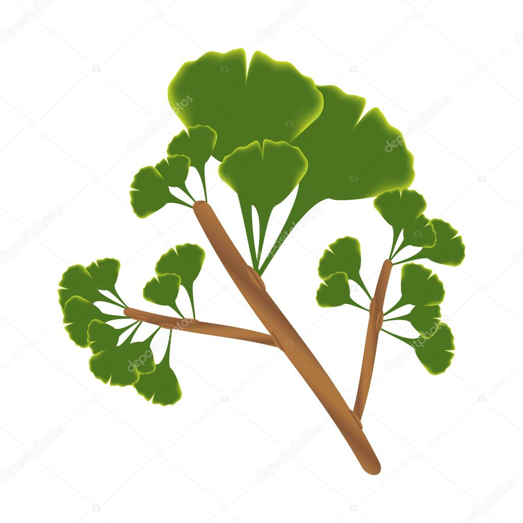 Twig with leaves of ginkgo biloba. Vector isolated illustration on white background.  — Stock Vector #13213903