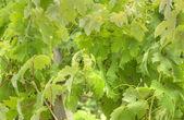 European Grape Vine Detail shot, in Spring — Stock Photo