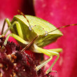Green bug on flower — Stock Photo