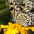 Big tropical butterfly on a flower — Foto Stock