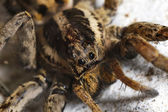 Closeup of a Spider — Stock Photo