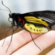 Big tropical butterfly on a flower — Stock Photo