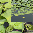 Frog on lily pad collage — Stock Photo
