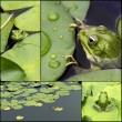 Frog on lily pad collage — Stock Photo #32071533