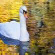 White swan in the morning — Stock Photo