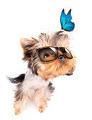 Dog with shades and blue butterfly — Stock Photo