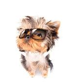 Hond met tinten — Stockfoto