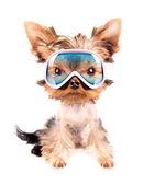 Pies z maski narciarskie — Zdjęcie stockowe