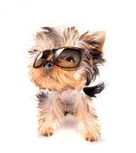 собака с оттенками — Стоковое фото
