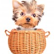 Happy yorkie toy standing in a basket — Stock Photo