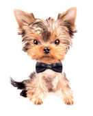 Cute puppy dog wearing a neck bow — Stock Photo