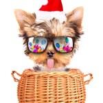 Christmas dog as santa in a basket — Stock Photo
