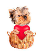 Valentine dog in a basket with red heart — Zdjęcie stockowe