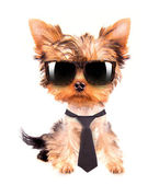 Business dog with tie and glasses — Stock Photo