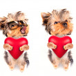 Stock Photo: Lover valentine puppy dog with red heart