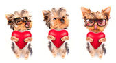 Lover valentine puppy dog with a red heart — Stok fotoğraf