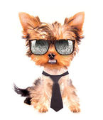 Business dog — Stock Photo
