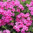 Moss phlox flowers - closeup view - Stock Photo