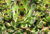 Common houseleek (Sempervivum tectorum) - closeup — Stock Photo