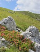 Rhododendron flowers, alpine pasture landscape, Slovenia — Stock Photo