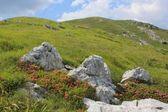 Great Laurel flowers meadow, Julian Alps, Slovenia — Stock Photo
