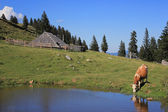Wooden hut and drinkig cow, Slovenia — Stock Photo