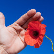 Royalty-Free Stock Photo: Hands on poppy