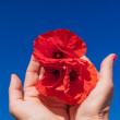 Poppy care — Stock Photo