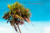 Palmtree — ストック写真