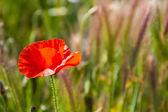 Poppy on green — Stock Photo