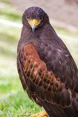 Staring falcon — Stock Photo