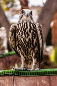 Staring hawk — Stock Photo